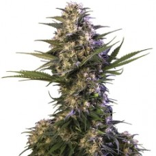 Kraken Feminised Seeds