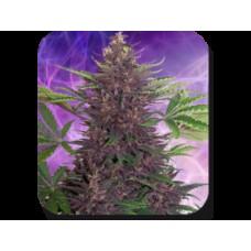 Purple Kush Auto Feminised Seeds