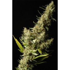 Southern Lights Regular Seeds - 5