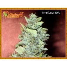 Bubba Gum Auto Feminised Seeds