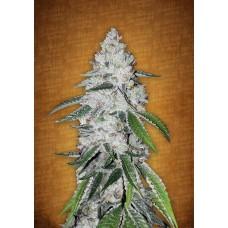 West Coast O.G. Autoflowering Feminised Seeds