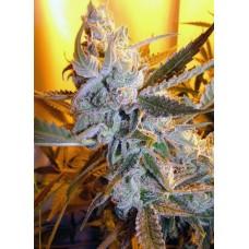 Heaven's Haze Autoflowering Regular Seeds - 8