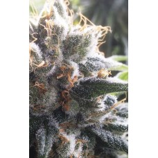 Barbara Bud Feminised Seeds - 6