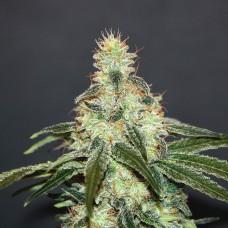 Mataro Blue CBD Feminised Seeds