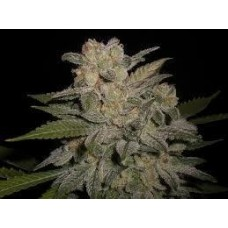 NL #5 x Big Bud #1 AUTO Feminised Seeds