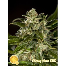 Cheesy Auto CBD Feminised Seeds