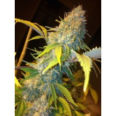 Northern Lights Express AUTO Feminised Seeds