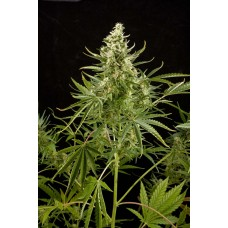 Royal Critical Automatic Feminised Seeds
