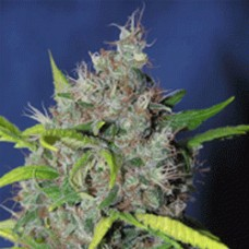 Blueberry Bud FEMINISED Seeds - 5