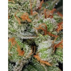 Automatic Bubble Gum Feminised Seeds