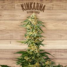 Kinkanna Feminised Seeds