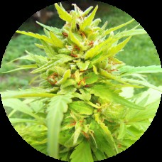Golden Cannary AUTO Regular Seeds - 5