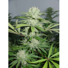Cannalope Haze Regular Seeds