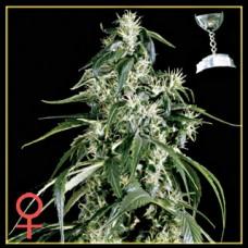 Arjan's Haze #1 Feminised Seeds